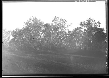Carjacara trees