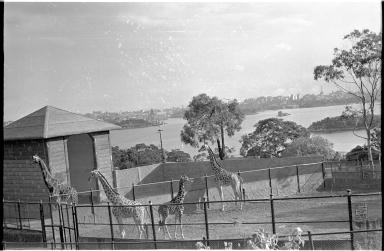 Giraffes at the Taronga Zoo