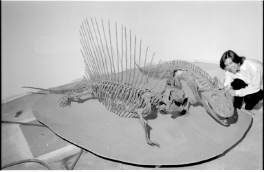 Articulated skeletons of Dimetrodon and Eryops