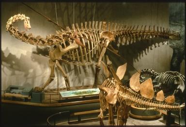 Diplodocus, Stegosaurus, and Allosaurus skeletons