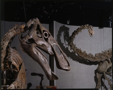 Edmontosaurus and Diploducus