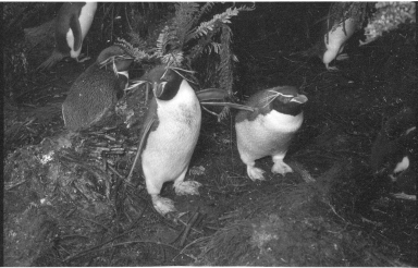 Rockhopper penguins on Campbell Island