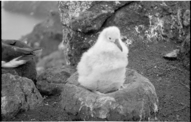 Black-browed albatross chick on Campbell Island