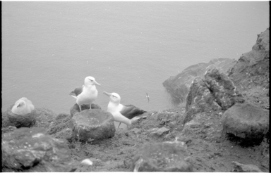 Black-browed albatrosses on Campbell Island