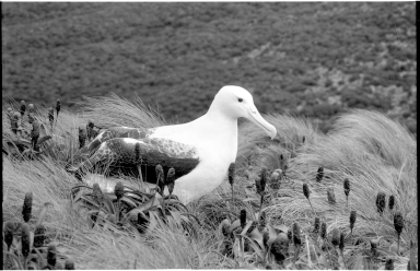Royal albatross on Campbell Island