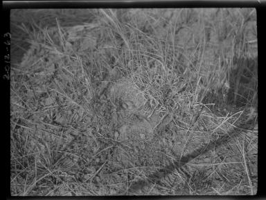 Horned lark nest