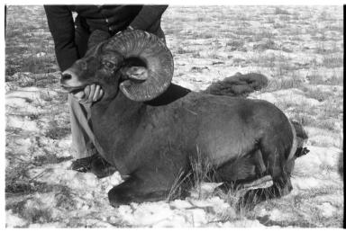 Bighorn Sheep Specimen