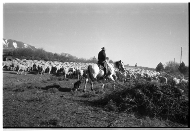 Unidentified person herding sheep