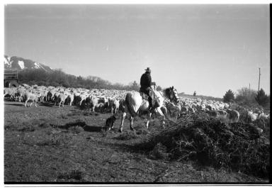 Unidentified person herding sheep