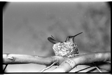 Hummingbird and nest