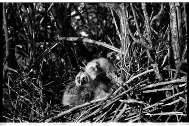 Owl Nest and Nestlings