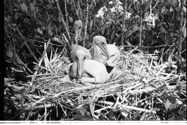 Pelican Nest and Nestlings