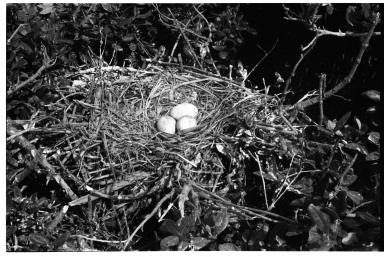 Pelican Nest