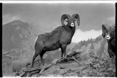Bighorn Sheep Diorama
