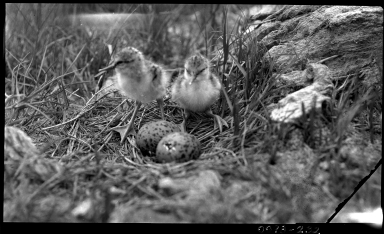 Avocet chicks in nest