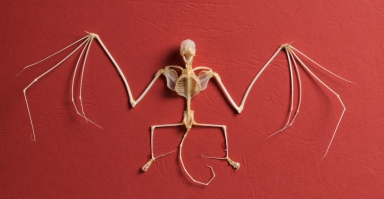 Brazilian free tailed bat skeleton