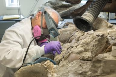 Working on hadrosaur specimen