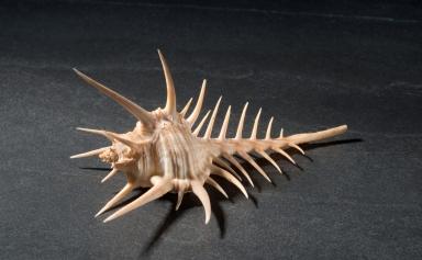 Murex tribulus shell