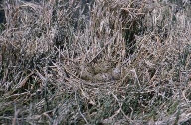 Black-necked Stilt eggs in nest