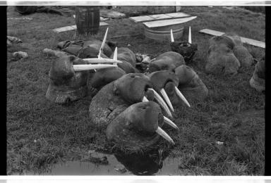 Walrus heads