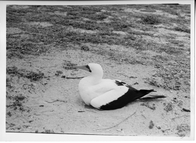 Blue-faced Booby