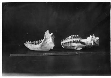 Caenopus occidentalis skull