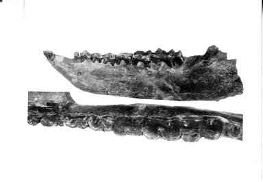 Eocene Titanothere mandible