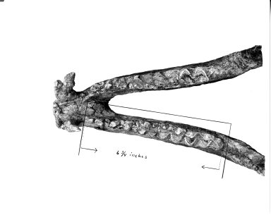 Titanothere mandible