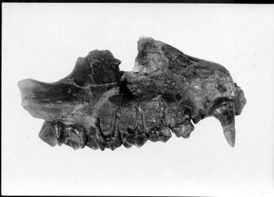 Tanyorhinus Bridgeri maxilla