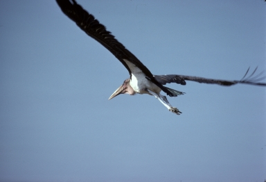Marabou stork in flight