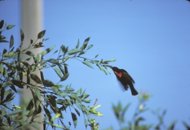 Scarlet-chested sunbird (Chalocomitra senegalensis)