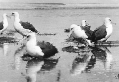 Laysan Albatross colony