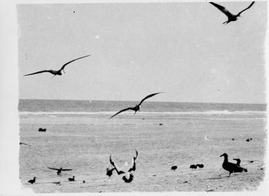 Frigate birds and boobies