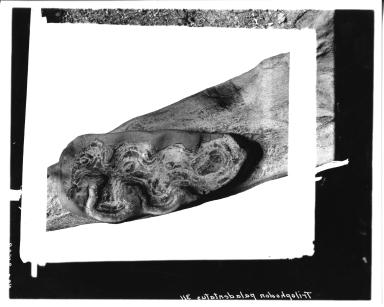 Trilophodon paladentatus molar