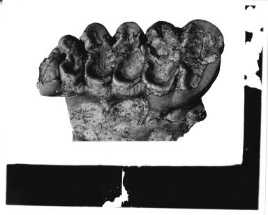 Trilophodon hicksi molar
