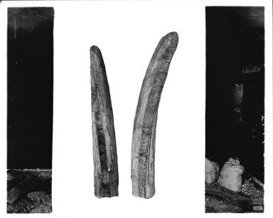 Mastodon Tusks