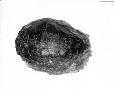 Eocene Turtle