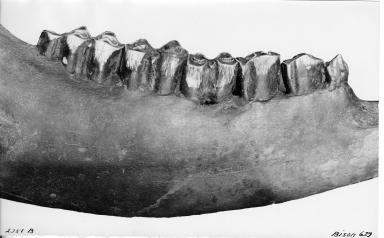 Bison mandible