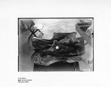 Diplodocus Cervical Vertebra