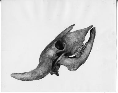 Bison skull and mandible