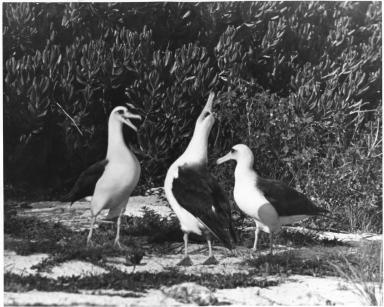 Laysan albatrosses