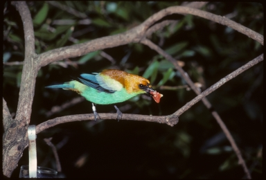 Chestnut-backed Tanager