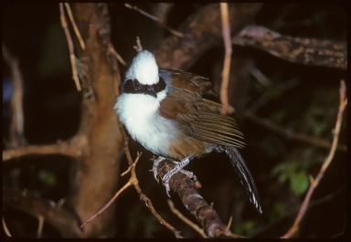 White-crested Laughing-Thrush
