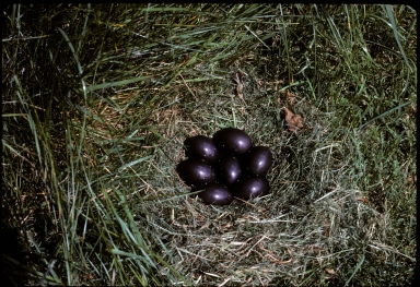 Tinamou eggs in nest