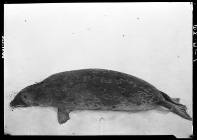 Ringed seal specimen in Wainwright, Alaska