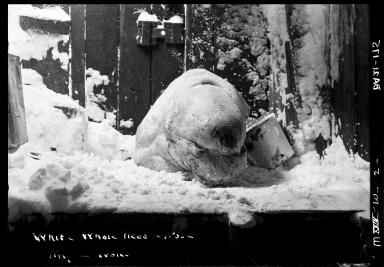 White whale's head in Wales, Alaska