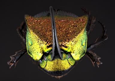 Phanaeus vindex dorsal