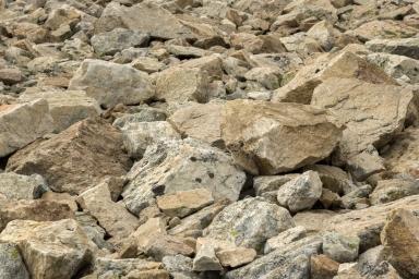 American Pika in a rock field