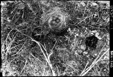 Alaskan Longspur eggs