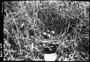 Red-backed Sandpiper nest and eggs